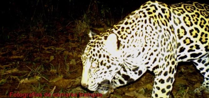Beiträge des Jaguarforschers Ricardo Moreno