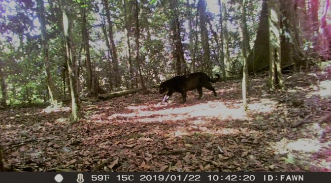 black jaguars in Naso territory